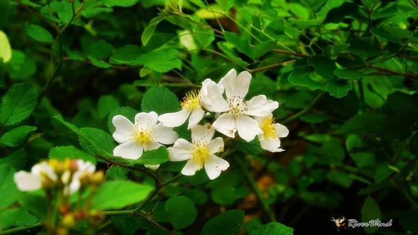 하얀찔레꽃