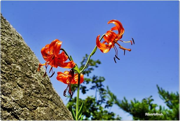 예쁜 야생화 참나리 꽃