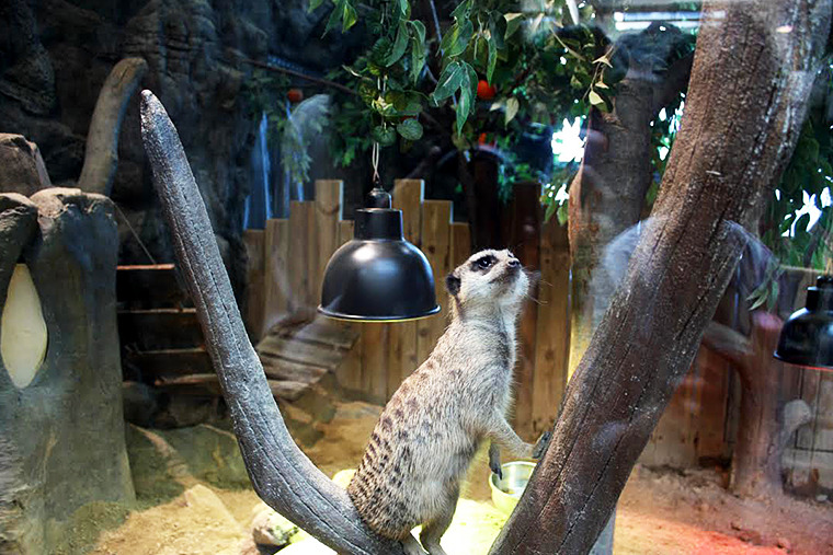 미어캣, 미어캣 특징, 정글, 신비한 동물사전 동물