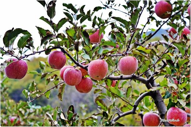 얼음골 사과