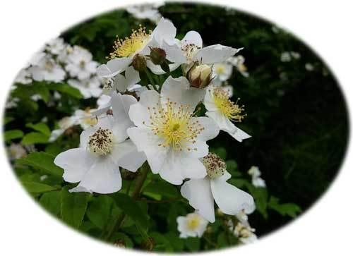5월에 피는 찔레 꽃