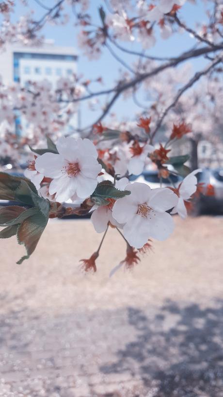 벚꽃엔딩 20160408 @카이스트