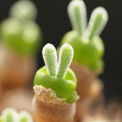 토끼귀 선인장 다육식물