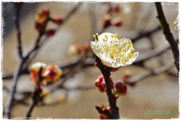 봄의전령 매화