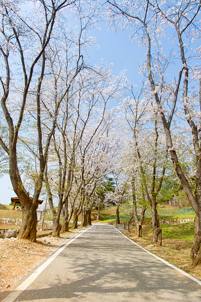 벚꽃 나들이, 벚꽃엔딩, 춘천 벚꽃 코스, 벚꽃 명소, 춘천댐 벚꽃, 벚꽃 드라이브, 춘천 벚꽃, 여행, 사진