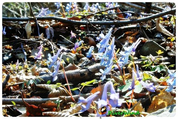 현호색(玄胡索), 산에서 만나는 예쁜 자생화