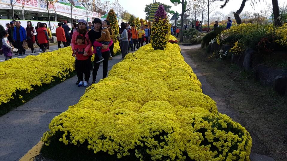 함평 국화꽃축제