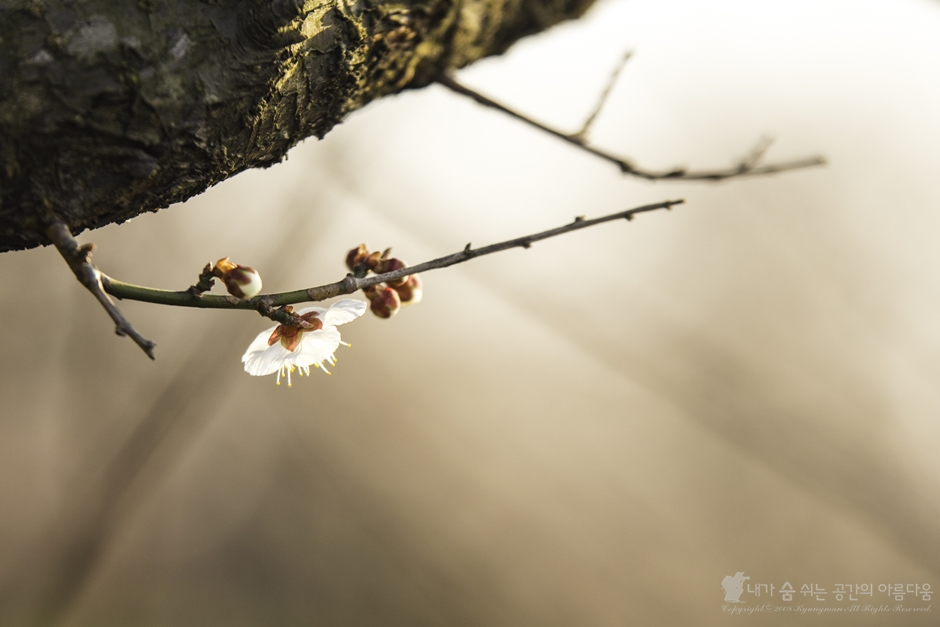 매화꽃이 활짝 핀 서귀포, 그 향기에 취하다