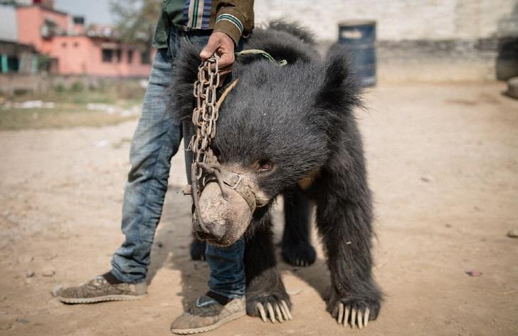 학대당하며 관광객들 앞에서 춤추는 두 마리의 곰
