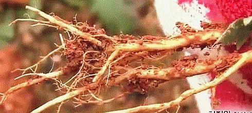 겨울냉이 뿌리