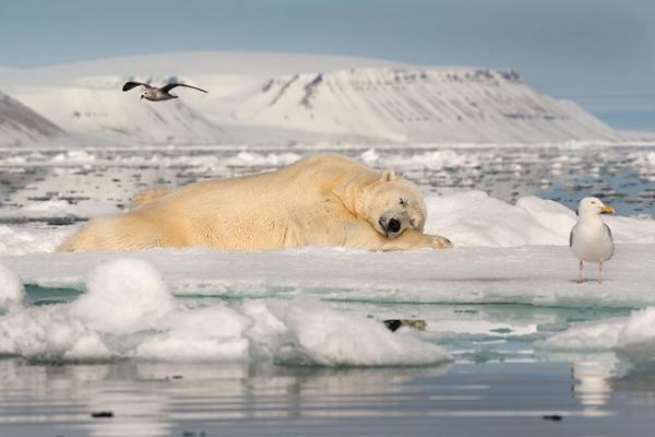 자연 부문 1위. 빙하 위의 단잠(Roie Galitz)