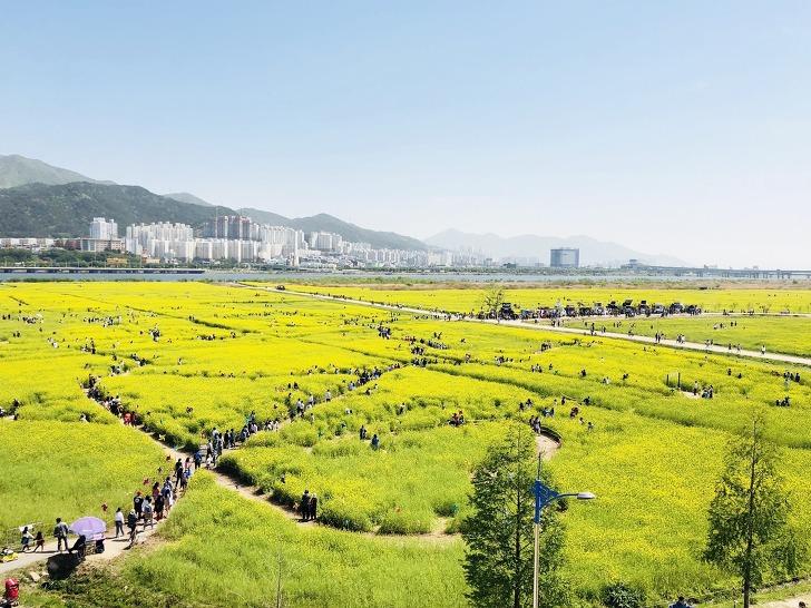 대저생태공원 《제7회 부산 낙동강 유채꽃 축제》이모저모