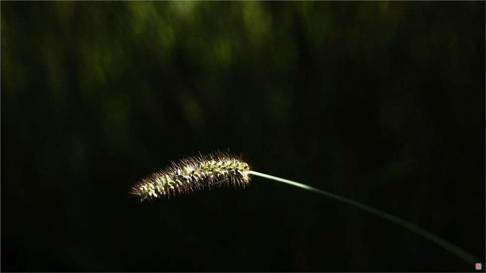 [삼성NX500] 강아지풀